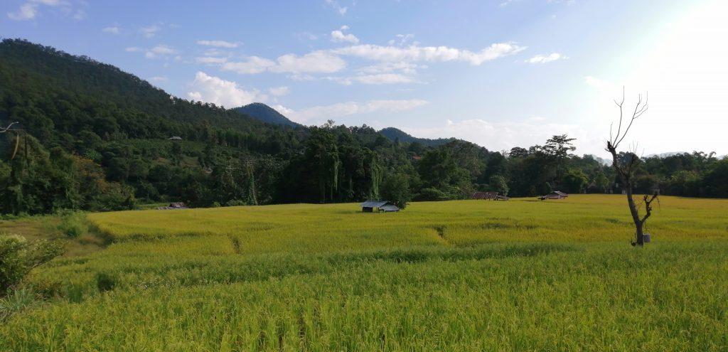 campos arroz tailândia